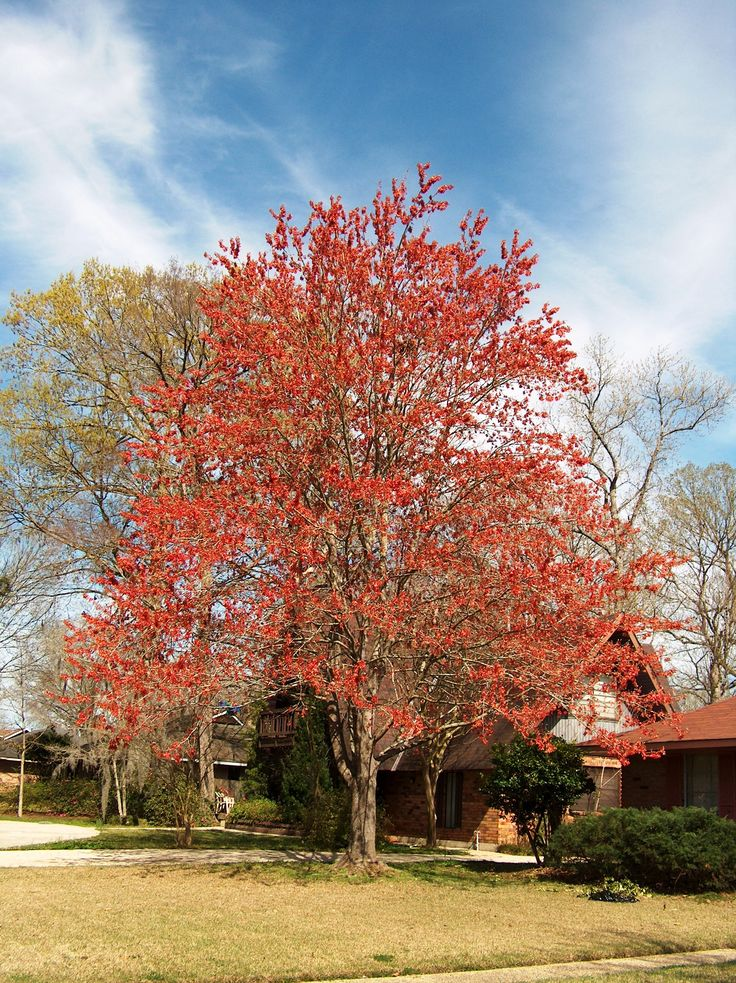 The 25 Best Acer Rubrum Ideas On Pinterest