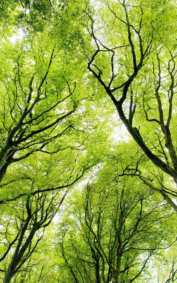 Green Forest Canopy Wallpaper Muralswallpaper Forest Wallpaper Green Nature Green Trees