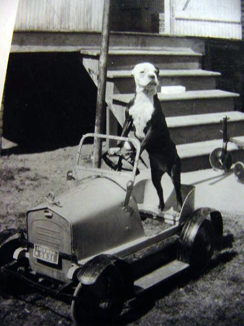 Boston Terrier + pedal car