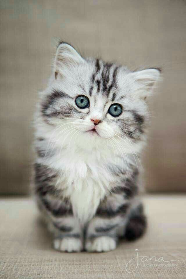 1596bd0601289 Kittens are the cutest animals on earth. | kitty | Fluffy kittens ...