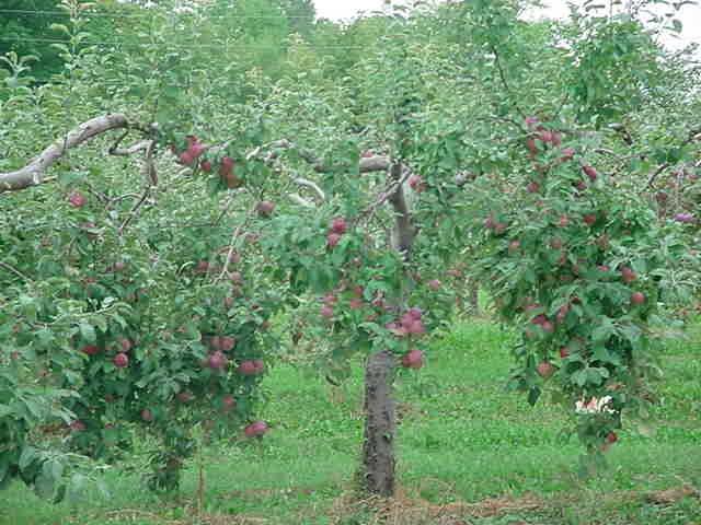 I am getting Honey Crisp Apple trees for my back yard this week!