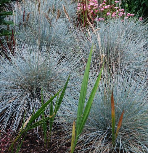 Festuca glauca 39 elijah blue 39 blue fescue family for Short landscape grasses