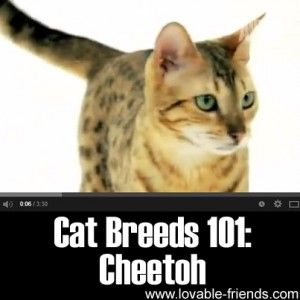 "Please Share This Page: On this page is our collection of 50+ of the most popular, best loved and most interesting cat breeds. Click the ""cat breeds 101"" images (or the cat name links directly below them) to learn more about each breed and see full size pics! Also, please pin your favorites to pinterest …"