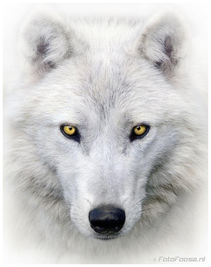 Arctic Wolf by Foto Foosa