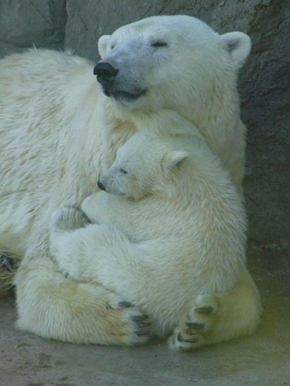 Mamma bear loves baby bear/ mother #polarbear and cub