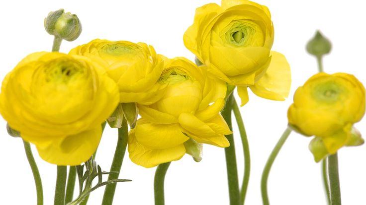 Jaloleinikin hoito-ohjeet   Leikkona jaloleinikki kestää majakossa noin 1-2 viikkoa. Muista vaihtaa maljakkoon vesi tarpeeksi usein, jos virkisteen käyttö ei ole mahdollista. Veden vaihdon yhteydessä on hyvä leikata uudet, viistot imupinnat kukan varsiin, jotta ne imevät paremmin vettä. Kukat kestävät kauemmin, jos siirrä kukat maljakkoineen viilempään paikaan yön ajaksi.