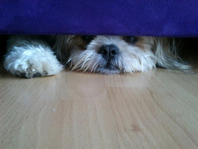 How to Train Your Shih Tzu: 12 Steps (with Pictures) - wikiHow