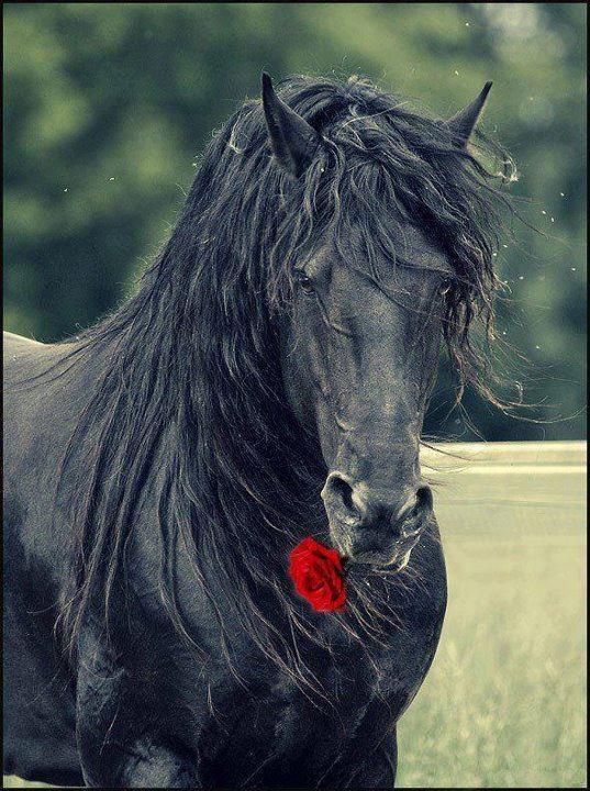 Friesian Stallion Postcard Zazzle Com Horses Pretty Horses Animals Beautiful