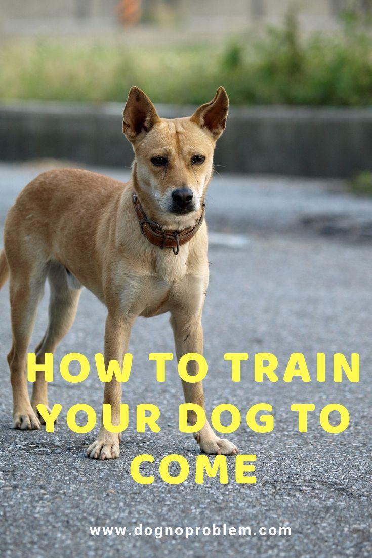 How To Train Your Dog To Come Every Time Training Your Dog Dog