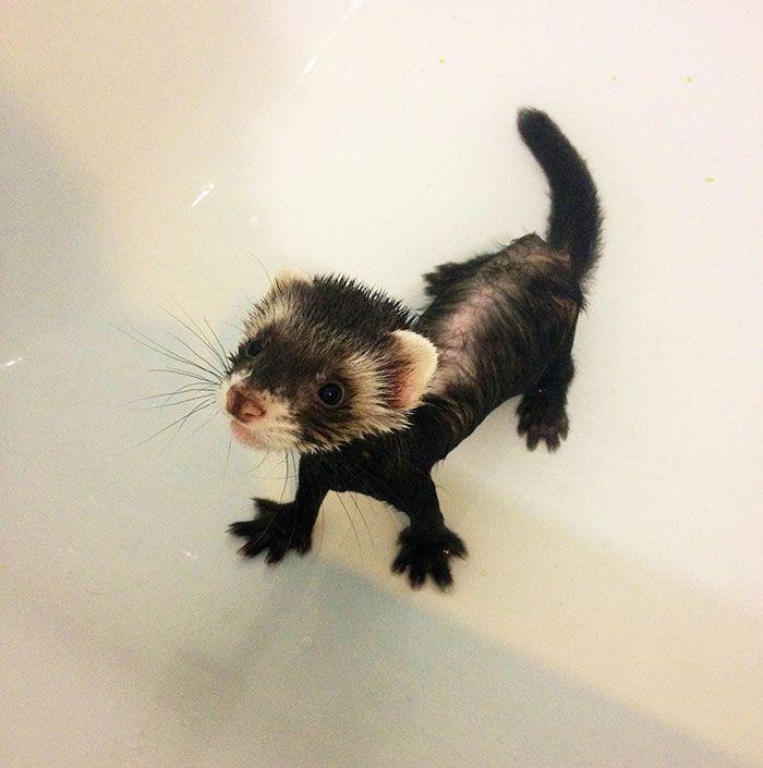 First Bath for ferret