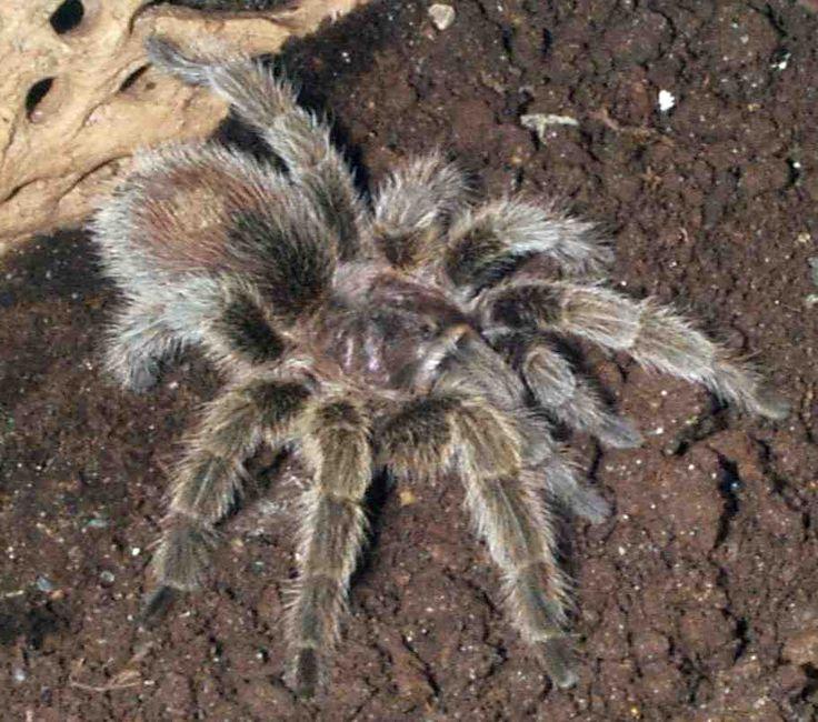 Pet tarantula on face - photo#14