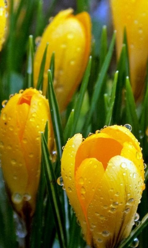 CROCUS: 1) Bulbs (croms) are planted for spring or fall bloom  2) Plant in well drained areas 3) Flower colors include shades of yellow, purple, white, and bi-colors 4) Click link for more tips