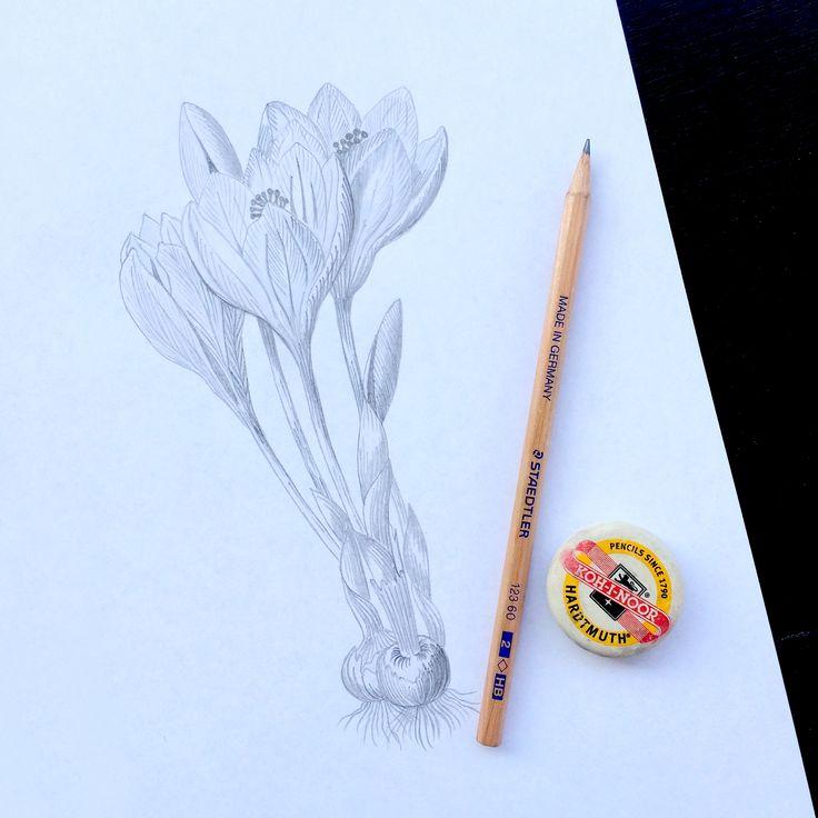 Crocus Flower Pencil Sketch #illustration #sketch #flower #crocus #spring #pencil #drawing #flowerillustration #thepaperhome