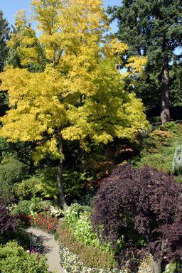 A Love Affair Gone Awry – Why I Won't Plant Robinia Pseudocacia In My Garden Again -  -  I prefer the golden Gleditzia cultivar