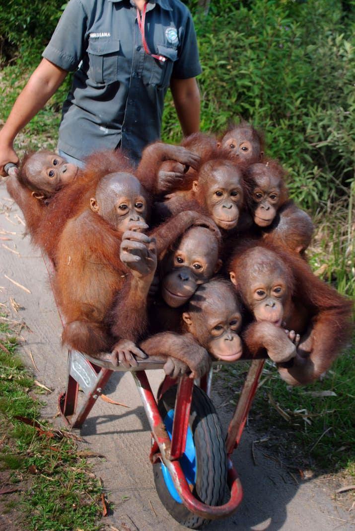Here's A Wheelbarrow Of Rescued Baby Orangutans On Their Way To Orangutan School