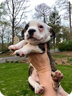 Hagerstown, MD - Boston Terrier Mix. Meet Archibald (RBF), a puppy for adoption. http://www.adoptapet.com/pet/17886733-hagerstown-maryland-boston-terrier-mix