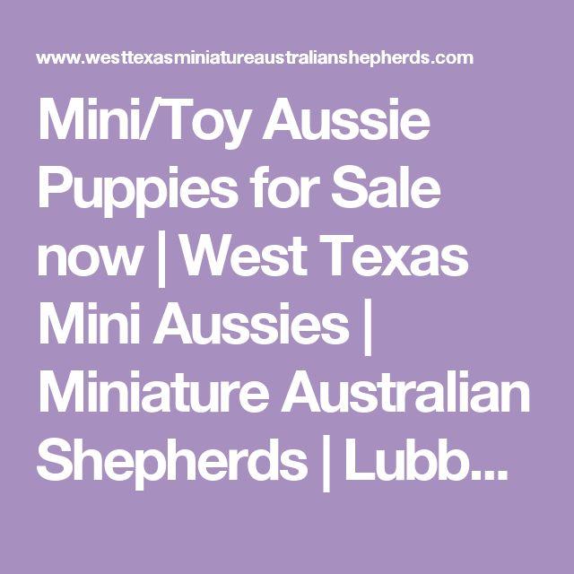 Mini/Toy Aussie Puppies for Sale now | West Texas Mini Aussies | Miniature Australian Shepherds | Lubbock, TX