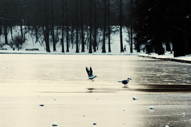 Frozen lake and the seagulls searching for food. Titan Lake, Bucharest, Romania.