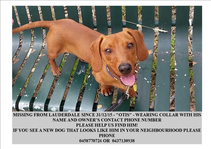 #LOST Red Dachshund #Dog – Lauderdale #TAS 7021 http://buff.ly/1JATBFl  #LostDog #Hobart #Lauderdale #Tasmania #Doxie #Dogs #Dachshunds RT