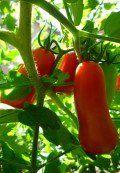 Growing San Marzano Tomato Plants