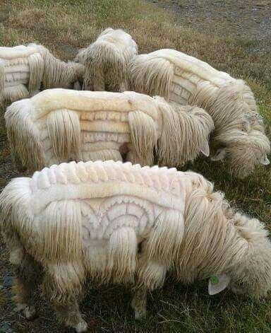 Sheep shearing as art