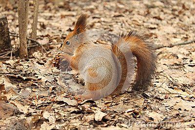 Squirrel eats cedar nuts in the Park