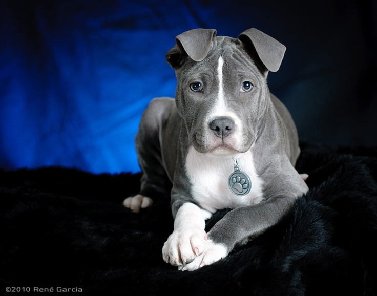 Beautiful Pit Bull Picture