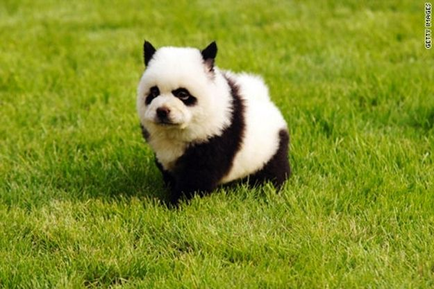 10 Dogs That Look Like Pandas
