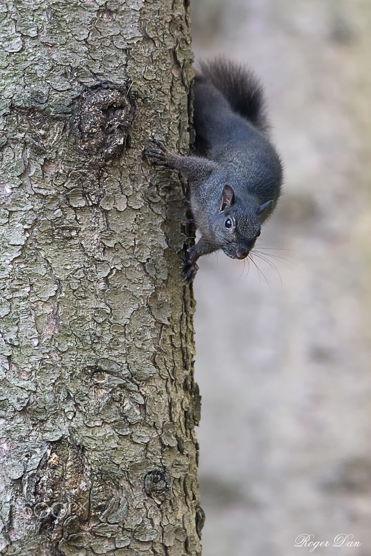 Meaning of white squirrel sighting - Animal Of Quebec Black Squirrel Jelrdan Photography