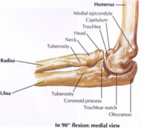 Medial view. Elbow joint | Anatomy | Pinterest