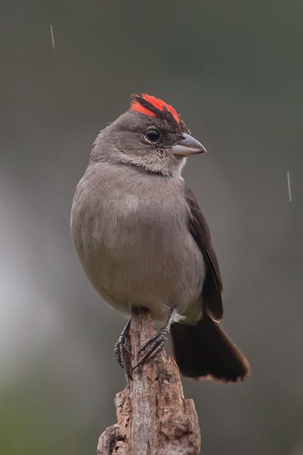 Foto tico-tico-rei-cinza (Lanio pileatus) por Neici Magnago | Wiki Aves - A Enciclopédia das Aves do Brasil