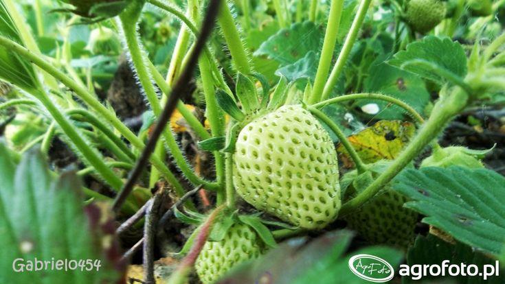 #truskawki #owoce #warzywa #rolnik #rolnictwo
