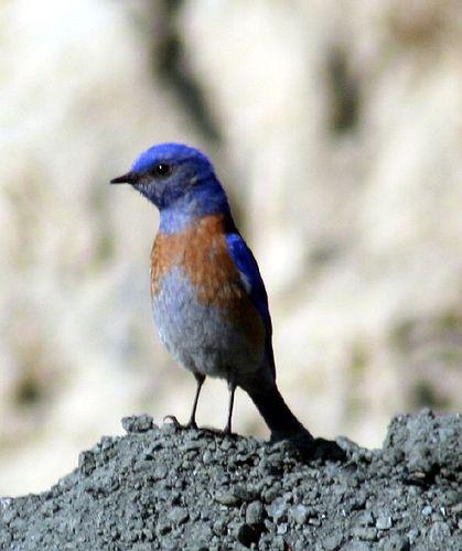 14 mejores imágenes de bluebirds en Pinterest | Pájaros azules ...