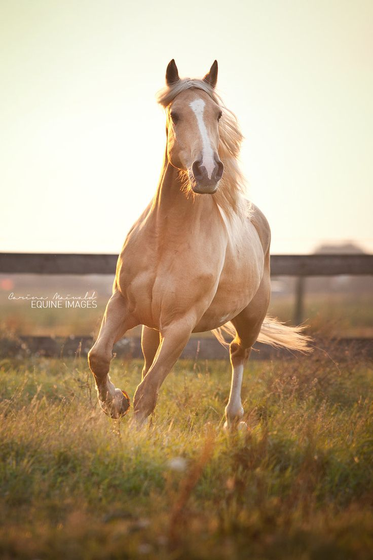 caterpiii:  Criollo Rubio by *equine-images