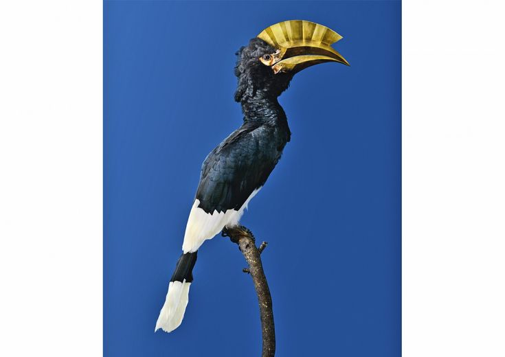 Vincent Fournier, Post Natural History, BROWN-CHEEKED HORNBILL [Bycanistes attractivus] Bird with an unbreakable beak, 2014.