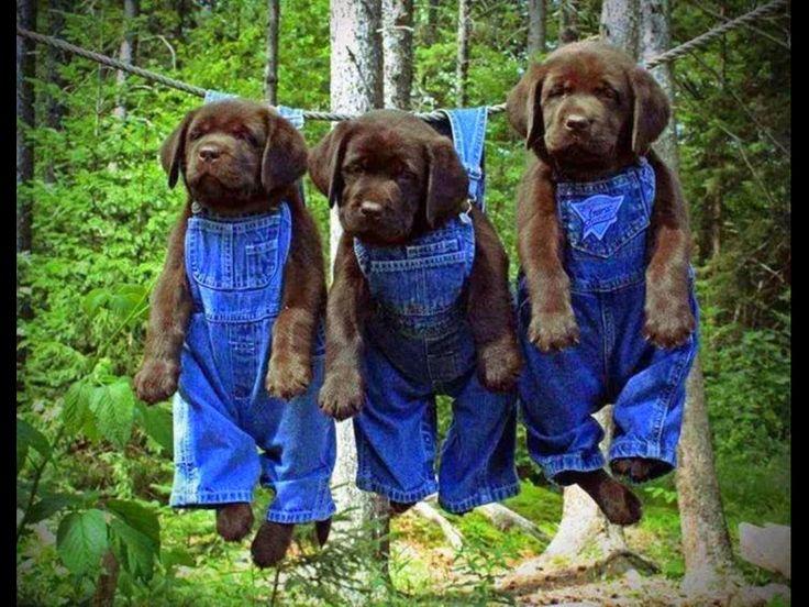 ラブラドール レトリバー 犬 種 - Google 検索