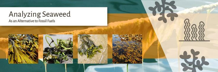 Analyzing Seaweed as a potential alternative to fossil fuels. How to calculate the calorific value of seaweed for analysis.