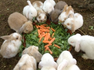 This is what my rabbit collection would look like LOL Baby Bunnies! is an adoptable Holland Lop Rabbit in Boston, MA. We are an amazingly cute litter of Mini-Lop, Holland Lop mixes. We are very sweet and friendly. Please come by the adoption center to me...