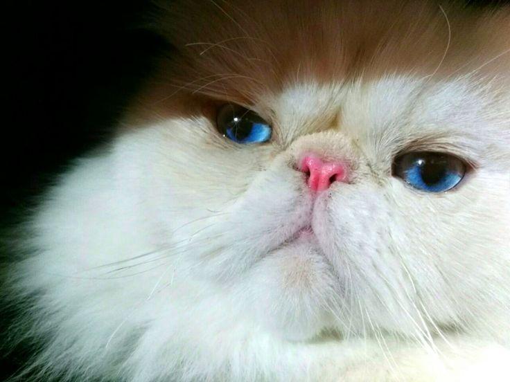 Himalayan Cat Himalayan Cat Persian Himalayan Cat Blue Point Himalayan Cat Tattoo Himalayan Cat Seals Persian A Persian Cats For Sale Himalayan Cat Persian Cat