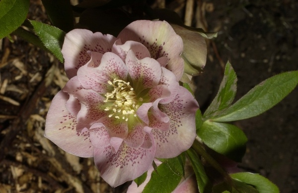 Helleborus orientalis - dubbel roze: For Tuinennl