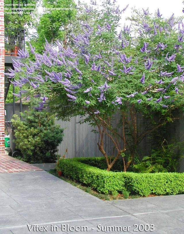 vitex agnus-castus. chaste tree. late summer to early fall bloom. late to leaf out in spring. can cut to ground for shrub form or maintain as tree to 12 ft tall. pms remedy