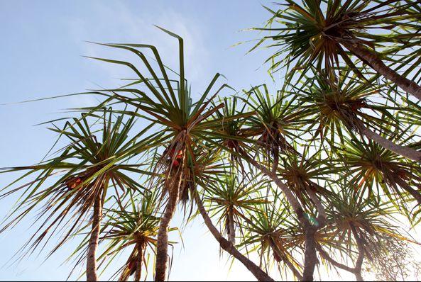 Pandanus Palms