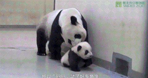 Giant Panda Extinction Facts Animals Giff #6091 - Funny Panda Giffs| Funny Giffs| Panda Giffs