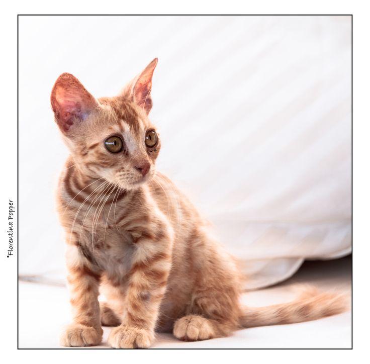"""Alfi von Florentina.P // Die kleine Katze wurde auf Malta, auf der Strasse gefunden, fast verhungert. Meine Freundin die dort wohnt, hat die mitgenommen und """"adoptiert"""". Und weil die Ohren so groß sind, dachte sie, """" das ist doch ein Alien""""... und so ist der Kater zu seinem Namen gekommen. Entwickelt sich prächtig.. und ist total lustig!"""
