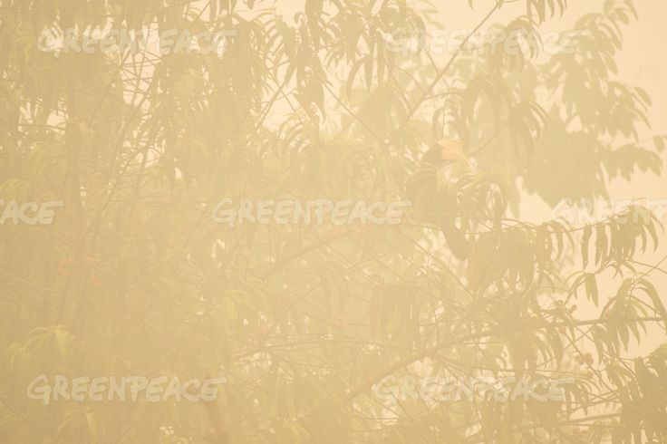 Haze in Central Kalimantan A hornbill is seen from a tree where the air is engulfed with thick haze at the river banks in Kapuas district, Central Kalimantan province on Borneo island, Indonesia.