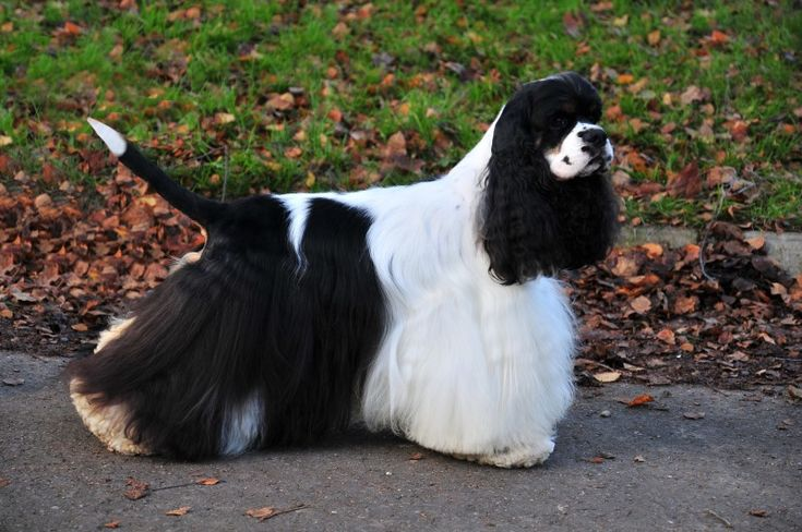 Dekoratív fajtájú kutyák: egy nagy lista a háziállatok és azok jellemzői (+ fotók) Amerikai cocker spániel