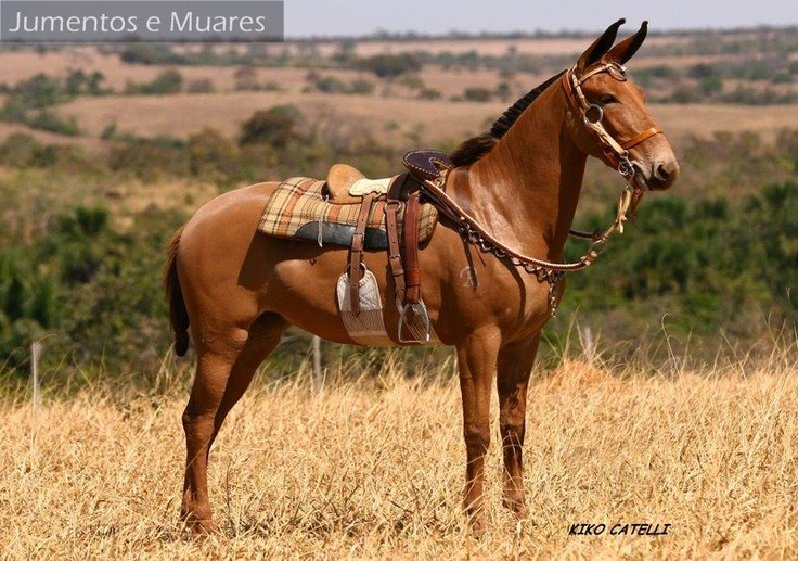 What a fine mule! This pretty thing is decked out in some handsome tack too.