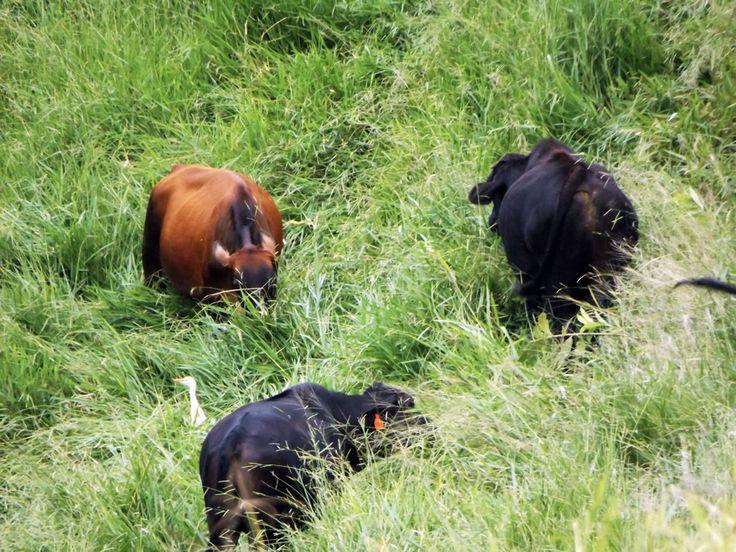 Una garza se confunde entre el ganado pastando. ¿Necesitas fotos como esta para el contenido de tu web? Visita: www.laweb.com.co/contenido-web/
