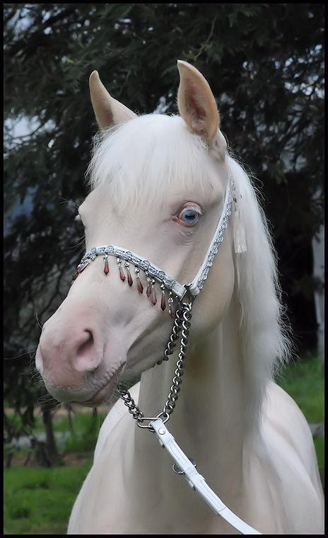 Cleopatra, partbred Arabian filly