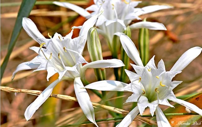 Sea lily - The favorite plant of the Minoans. Bulbous plant with large fragrant white flowers. The slight fruits lured by the sea and grow on the shores.